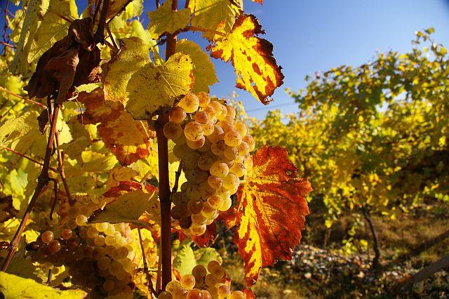 Dozrávání hroznového vína